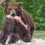 bear catches a salmon